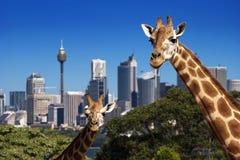 żyrafy Sydney zoo Zdjęcie Royalty Free