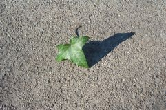 конкретная текстура листьев плюща Стоковое Фото