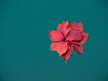Лист высушенные красным цветом в воде Стоковое фото RF
