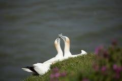 两gannets 图库摄影