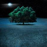 晚上橡树 免版税库存图片