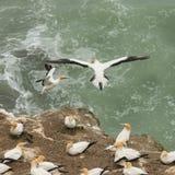 着陆gannets 免版税库存图片