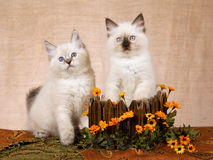 2 Ragdoll kittens in wood box Stock Photography