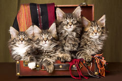 4 Maine Coon kittens inside brown suitcase Stock Images