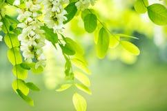 Acacia flowers Royalty Free Stock Image
