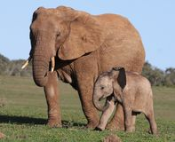 African Elephant Baby and Mom Royalty Free Stock Image