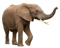 African Elephant Isolated on White Stock Photography