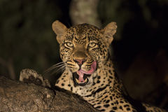 African Leopard (Panthera pardus) South Africa Stock Photos