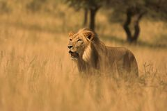 African Lion Royalty Free Stock Images