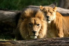 African Lion Mates Stock Photo