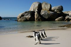 African Penguins at Boulders Stock Photos