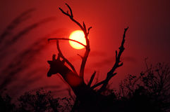 African Sunset Royalty Free Stock Image