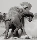 Afrikaanse Olifanten die - Botswana vechten Royalty-vrije Stock Foto