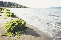 Algas auf dem Strand Lizenzfreie Stockfotos