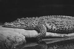 Alligator Stock Images