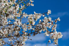 Almond flowers Royalty Free Stock Photography