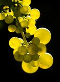 Amber wine grapes Royalty Free Stock Images