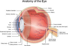 Anatomy of the Eye Royalty Free Stock Images