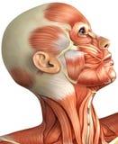 Anatomy of  female head Stock Photo