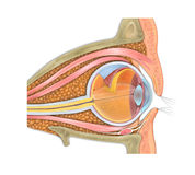 Anatomy of the human eye and visual apparatus Stock Photo