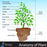 Anatomy of Plant Royalty Free Stock Photo