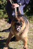 Angry Police Dog Stock Image