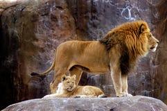 Animal - African Lion (Panthera leo krugeri) Royalty Free Stock Photos