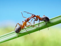 Ants, greetings with jaws Royalty Free Stock Photography