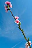 Apple sboccia fiori Immagine Stock Libera da Diritti