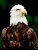 Aquila calva Fotografia Stock