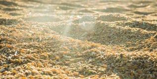 Arroz de arroz hermoso en puesta del sol Imagenes de archivo