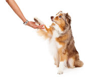 Australian Shepherd Dog Extending Paw to Human Royalty Free Stock Photography