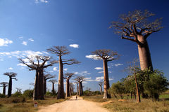 Avenida de Baobab Royalty Free Stock Images