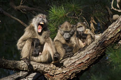 Baboons can have most lovely expressions Stock Photos