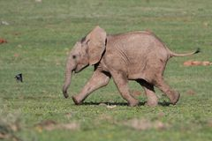 Baby Elephant and Bird Royalty Free Stock Photo
