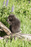 Baby porcupine Stock Images