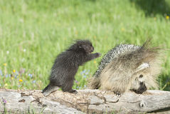 Baby porcupine reaches for his mother Stock Images