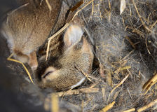 Baby Rabbits in Fur Nest Royalty Free Stock Photo