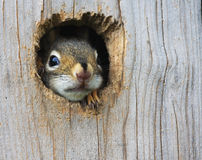 Baby Squirrel Stock Photo