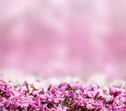 Background with pink blossoming flowers Stock Photo