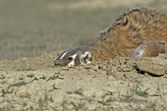 Badger protecting his prey Royalty Free Stock Photography