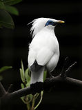 Bali starling bird Royalty Free Stock Photos