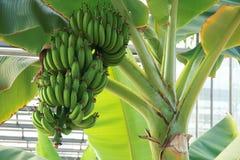 Banana fruits Stock Photos