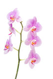 Banch of orchid flower Stock Images