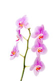 Banch of orchid flower Royalty Free Stock Photos