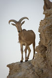 Barbary Sheep on cliff Royalty Free Stock Image