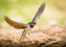 Barn swallow bird Royalty Free Stock Photo