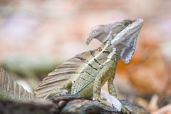 Basilisk or Jesus Christ Lizard Stock Photo