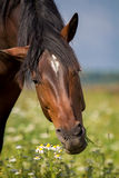 Bay horse eat Stock Photography