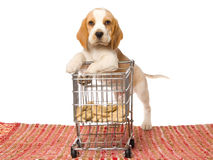 Beagle puppy leaning on mini shopping cart Royalty Free Stock Image